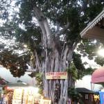 夏威夷旅遊~International Market Place的巨樹地標